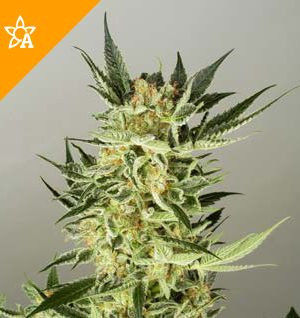 Buy AK48 Automatic Seeds
