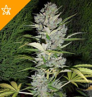 Buy Big Bud Automatic Seeds