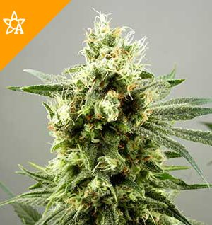 Buy Diesel Haze Automatic Seeds