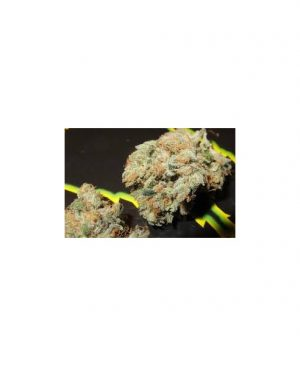 Buy Jedi Kush (Cali Connection) from