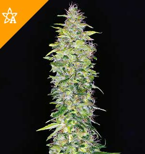 Buy Northern Lights Automatic Seeds