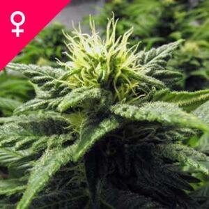 Buy Skunk #1 Feminized Seeds online