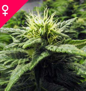 Buy Skunk #1 Feminized Seeds