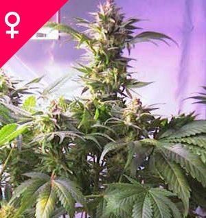Buy Top 44 Feminized Seeds online