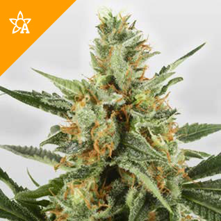 Buy WSS Skunk Automatic Seeds online