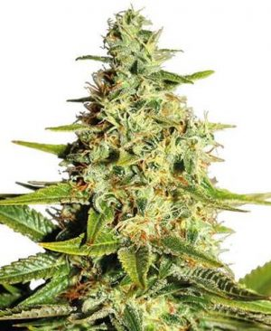 Buy Afghan Feminized Seeds online