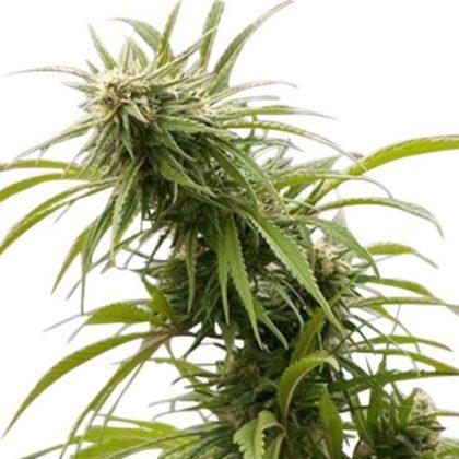 Buy California Dream Feminized Seeds online